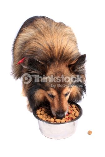 dog eating from bowl stock photo getty images dog eating food from a bowl stock photo thinkstock