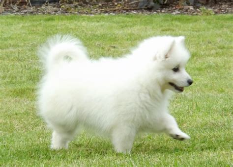 japanese puppy japanese spitz puppies inverurie aberdeenshire pets4homes