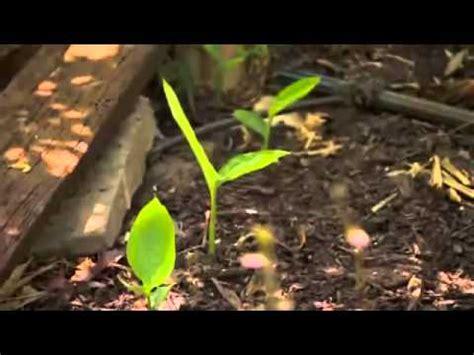 backyard permaculture australia backyard permaculture timelapse doovi