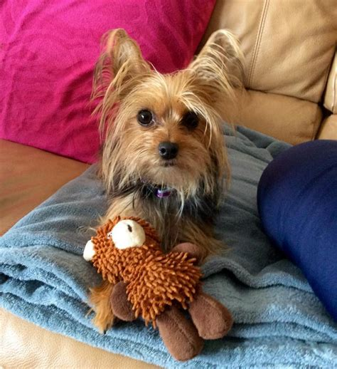 yorkie rescue fl florida yorkie rescue inc nonprofit in palm city fl volunteer read reviews