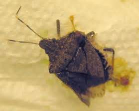 correction brown marmorated stink bug  tree stink bug