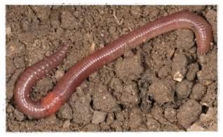 Gambar cacing schistosomiasis grcom info