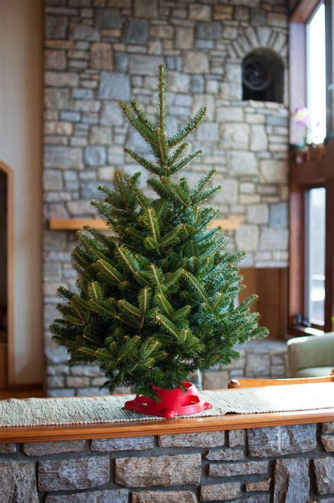 live tabletop christmas tree app evergreens