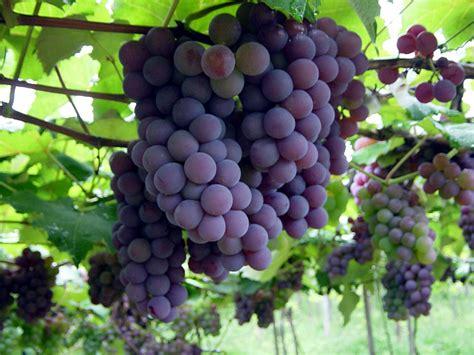 imagenes de uvas tintas desenvolturasedesacatos os nossos recursos uvas
