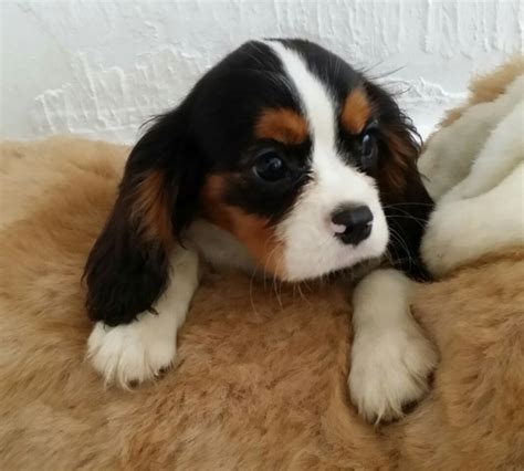 cavalier king charles spaniel puppies price last one cavalier king charles price reduced abertillery blaenau gwent pets4homes