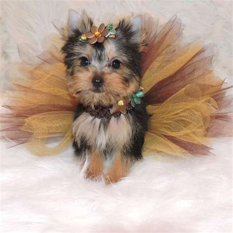 miniature yorkie pictures mini teacup yorkie puppies breeds picture