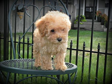 mini goldendoodle best 25 mini goldendoodle ideas on small