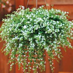 Flowers For Hanging Planters by Bacopa Snowtopia Sutera Cordata Half Hardy Annual