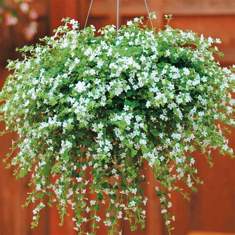 best small hanging plants bacopa snowtopia sutera cordata half hardy annual