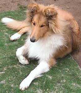 Sable amp white rough collie london south east london pets4homes