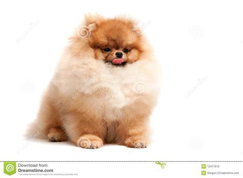pomeranian sitting sitting pomeranian spitz puppy stock photos image 12471613