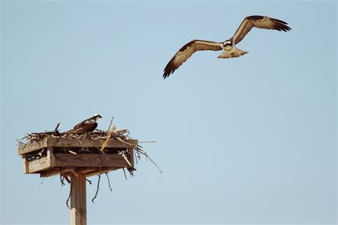 on the wing travels with the songbird migration of books a risky wing migration for ospreys ny harbor nature