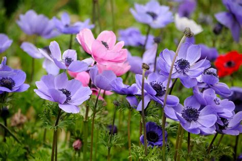 Colors Meanings by Anemone Flower Meaning Flower Meaning