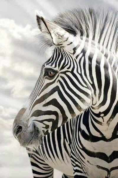 zebra wallpaper pinterest 25 best ideas about zebra wallpaper on pinterest bamboo