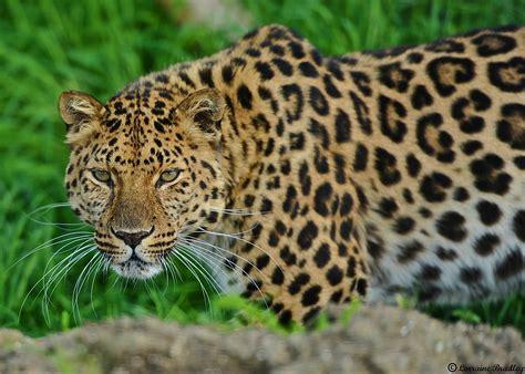 imagenes de jaguar y leopardo leopardo guepardo jaguar y tigre ojo de leopardo