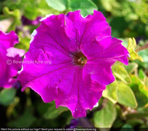 petunia colors magenta color petunia petunia integrifolia