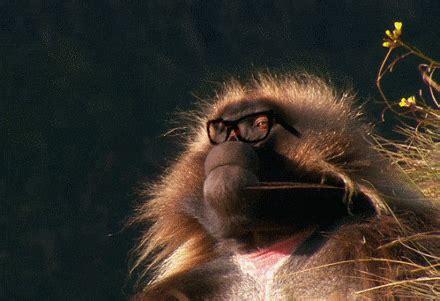 baboon gifs wifflegif