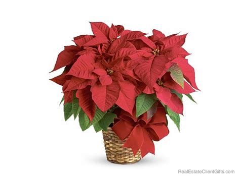beautiful poinsettias the perfect realtor christmas gift