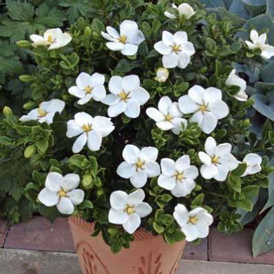 kleims hardy gardenia shrub jasmine plant hardy plants
