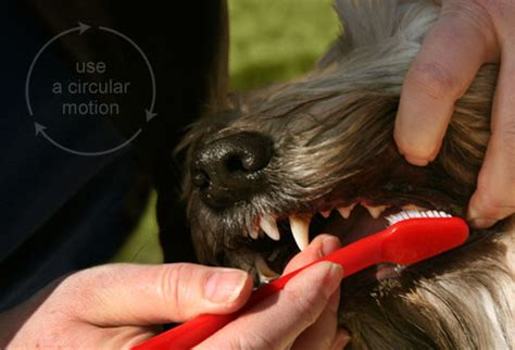 how often to brush dogs teeth slideshow how to brush your s teeth