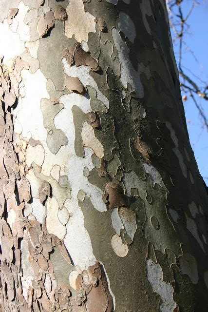 Sycamore Tree Shedding Bark my temple of nature new jersey news