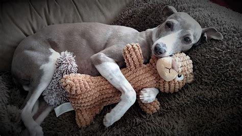 greyhound rescue mid atlantic italian greyhound rescue igs volunteer foster advocate adopt
