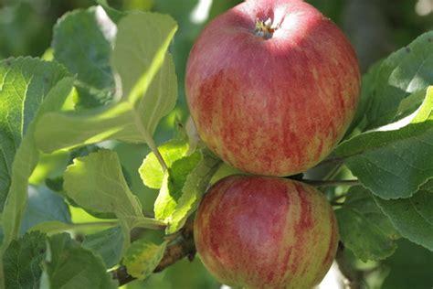 apple eple mela appl aeple omena mansanas ap