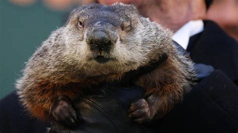 groundhog day how many days did it last groundhog day punxsutawney phil predicts early