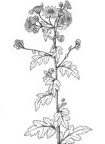 printable version in hindi indian chrysanthemum coloring page free printable