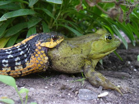 Garter Snake Upstate Ny Eastern Garter Snake Animals Of Northern New York