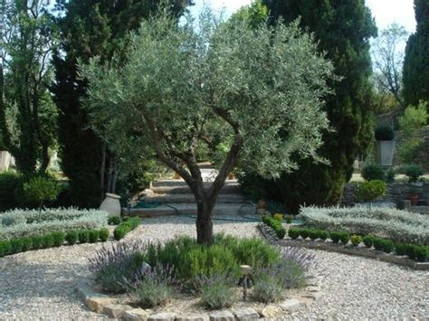 olive trees with borders of rosemary and lavender or