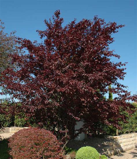 purple leaf plum 2 2m bulk buy of 5 hello hello plants garden supplies