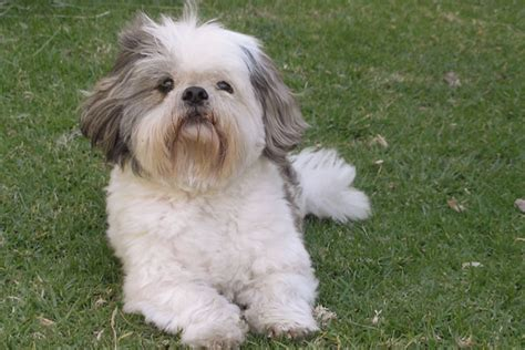 Shih Tzu Do They Shed by Maltese Terriers And Breeds On