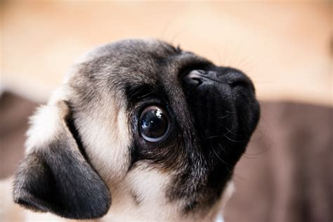 pug photography animals