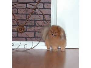 pomeranian puppies for sale in idaho falls pomeranian puppies in