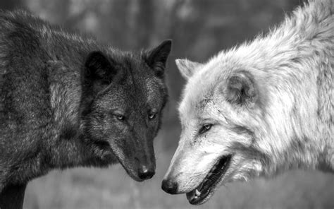 wolf s black and white wolfs hd wallpapers