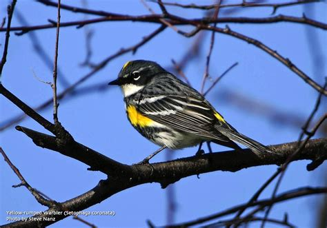 the city birder migration ring up at green wood cemetery