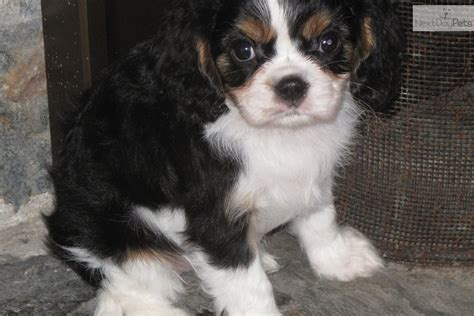 spaniel puppies for sale near me cavalier king charles spaniel for sale for 950 near maine bb4f7eab 43b1