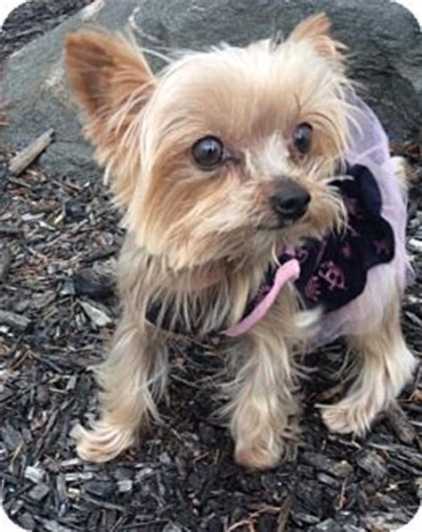 yorkies for adoption in pa ohia a yorkie terrier for adoption in sinking pa who needs a