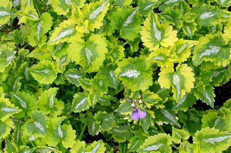 anne greenaway lamium like this garden pinterest