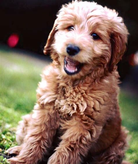 doodle puppy best 25 golden doodle puppies ideas on puppy