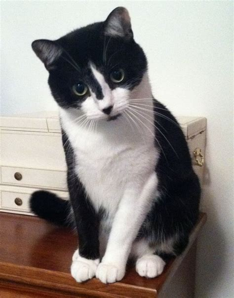 handsome tuxedo cat cats enough said pinterest