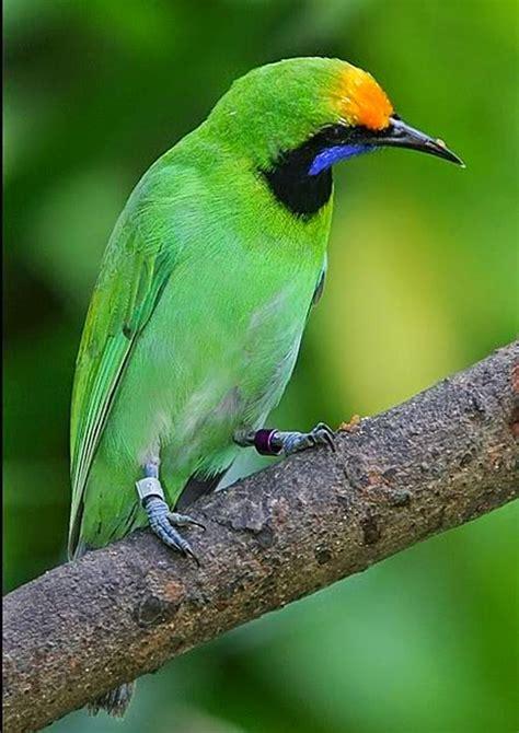 Pakan Juara Burung Bird Favorit 12 best greater green leafbird images on green beautiful birds and birds