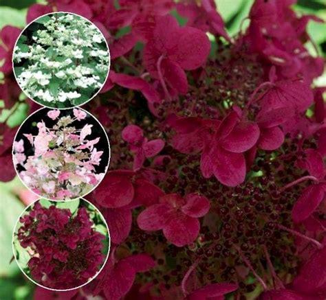 Hortensie Wims by Hydrangea Paniculata 171 Wim S 187 гортензия метельчатая