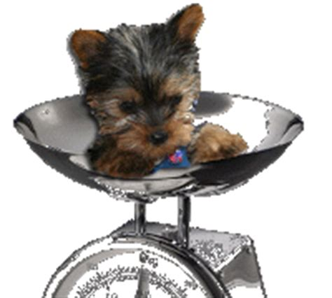yorkie puppy weight calculator yorkie weight chart priceless yorkie puppy