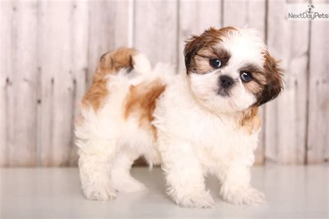 shih tzu puppies for sale in columbus baxter shih tzu puppy for sale near columbus ohio dae1835a 52c1