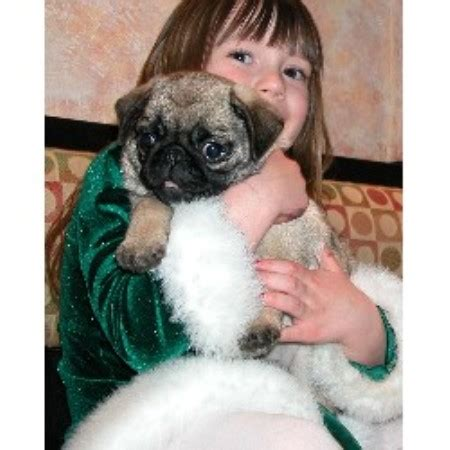 pug breeders in alabama camelot s chion pugs pug breeder in jeannette pennsylvania
