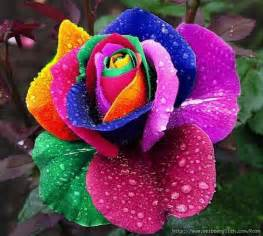 rainbow colored roses rainbow every color of the rainbow