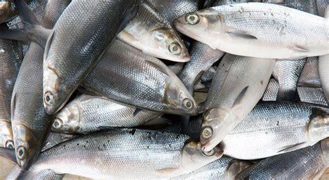 Buku Aneka Olahan Ikan Bandeng bandeng bisa diganti ikan jenis lainnya okezone lifestyle
