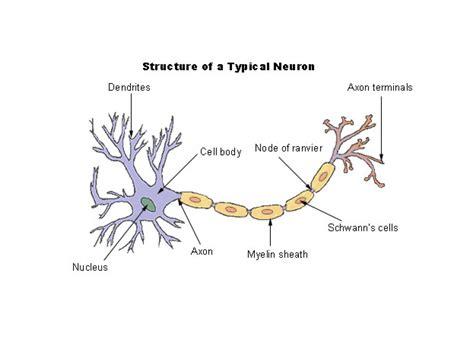 simple neuron diagram diagram basic neuron diagram